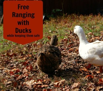 free range ducks