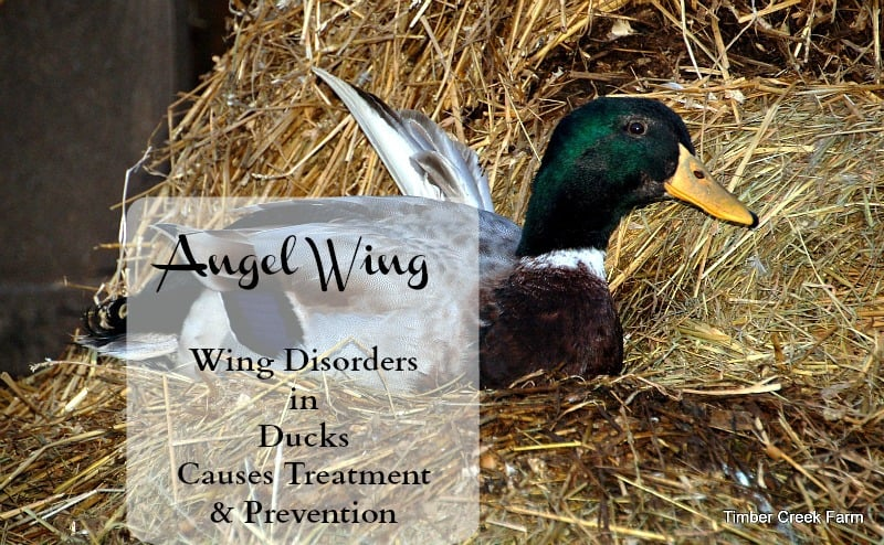 Abnormal Duck Wing www.timbercreekfarmer.com