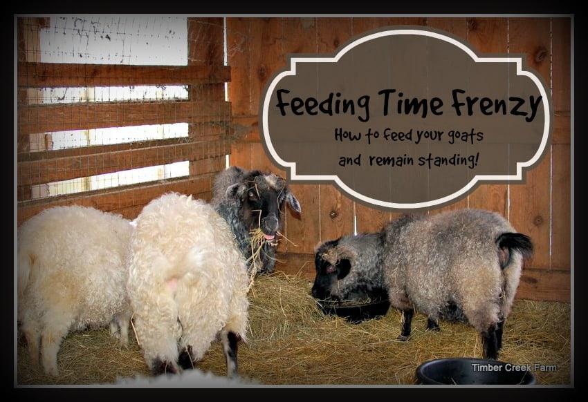Feeding Grain to Unruly Goats
