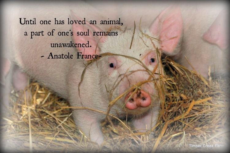 Love for Homestead Animals