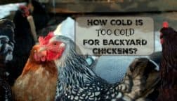 how cold is too cold for backyard chickens