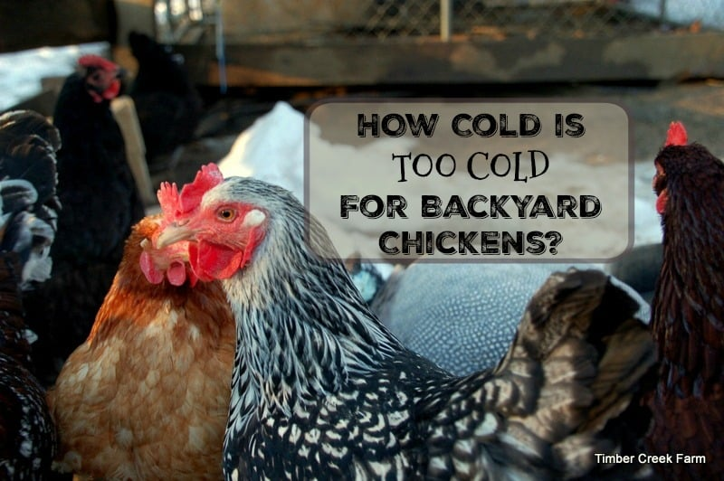 how cold is too cold for backyard chickens timber creek farm