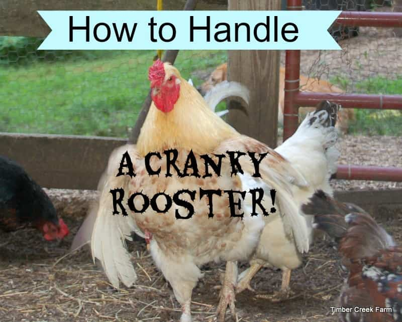 How to Handle a Cranky Rooster