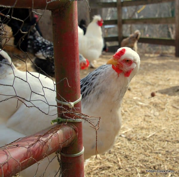 Adding New Poultry and Livestock