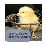 how to order hatchery chicks