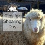 Shearing Sheep - Tips for Shearing Day