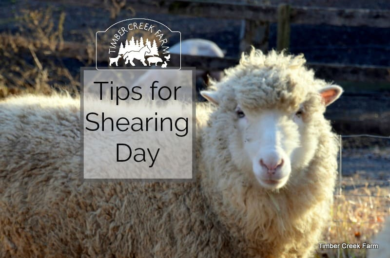 Shearing Sheep – Tips for Shearing Day