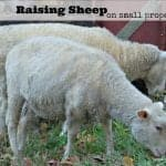 Sheep Care on Small Farms and Homesteads