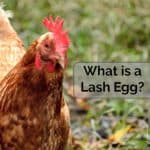 What is a Lash Egg? Salpingitis in Laying Hens