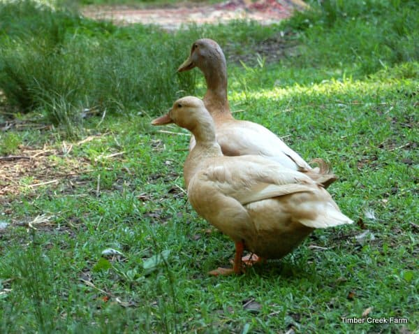 Life with a Broody Duck