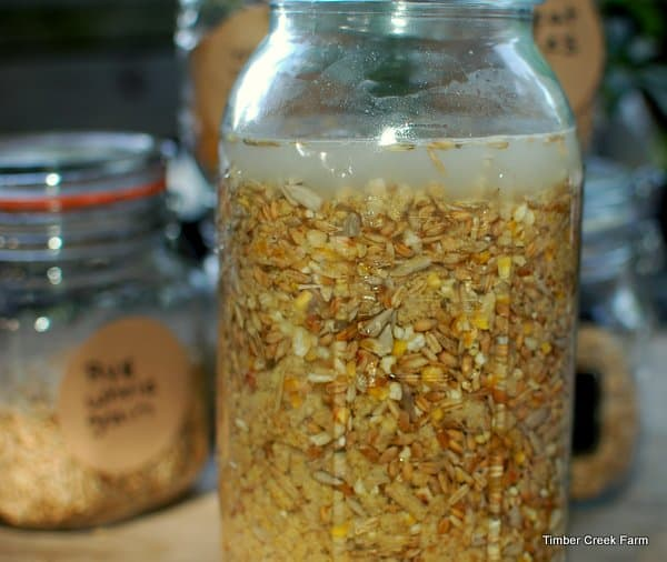 fermenting chicken feed