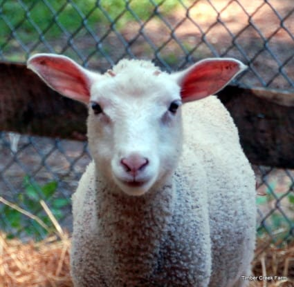 what is coccidiosis