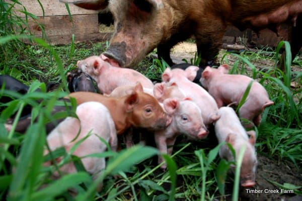 How to raise pigs naturally