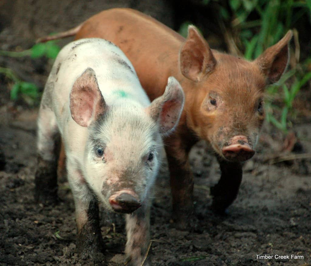 how to raise pigs naturally on a small farm timber creek farm