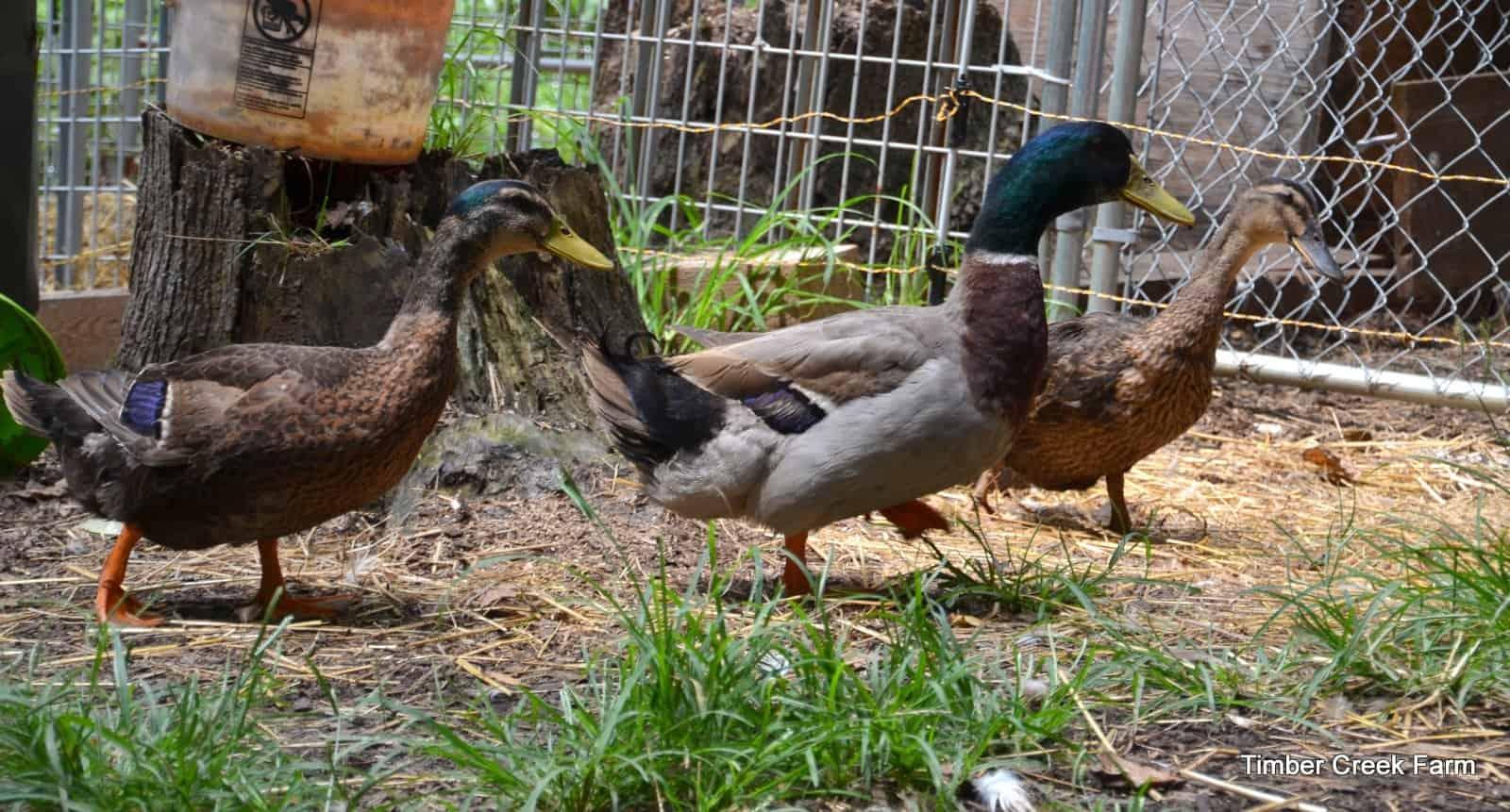 3 tips for feeding ducklings timber creek farm