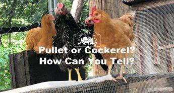 pullet or cockerel