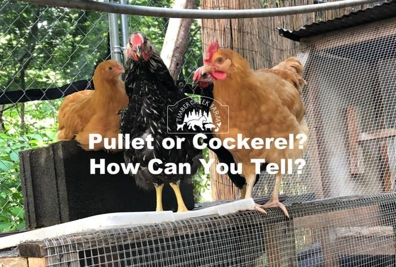 pullet or cockerel
