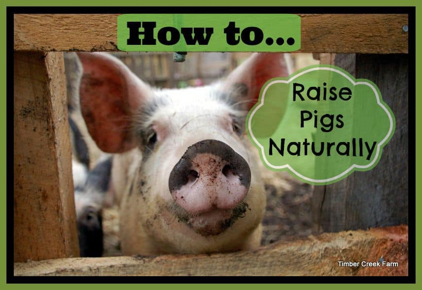 How to raise pigs naturally on a small farm timber creek farm how to raise pigs naturally publicscrutiny Choice Image