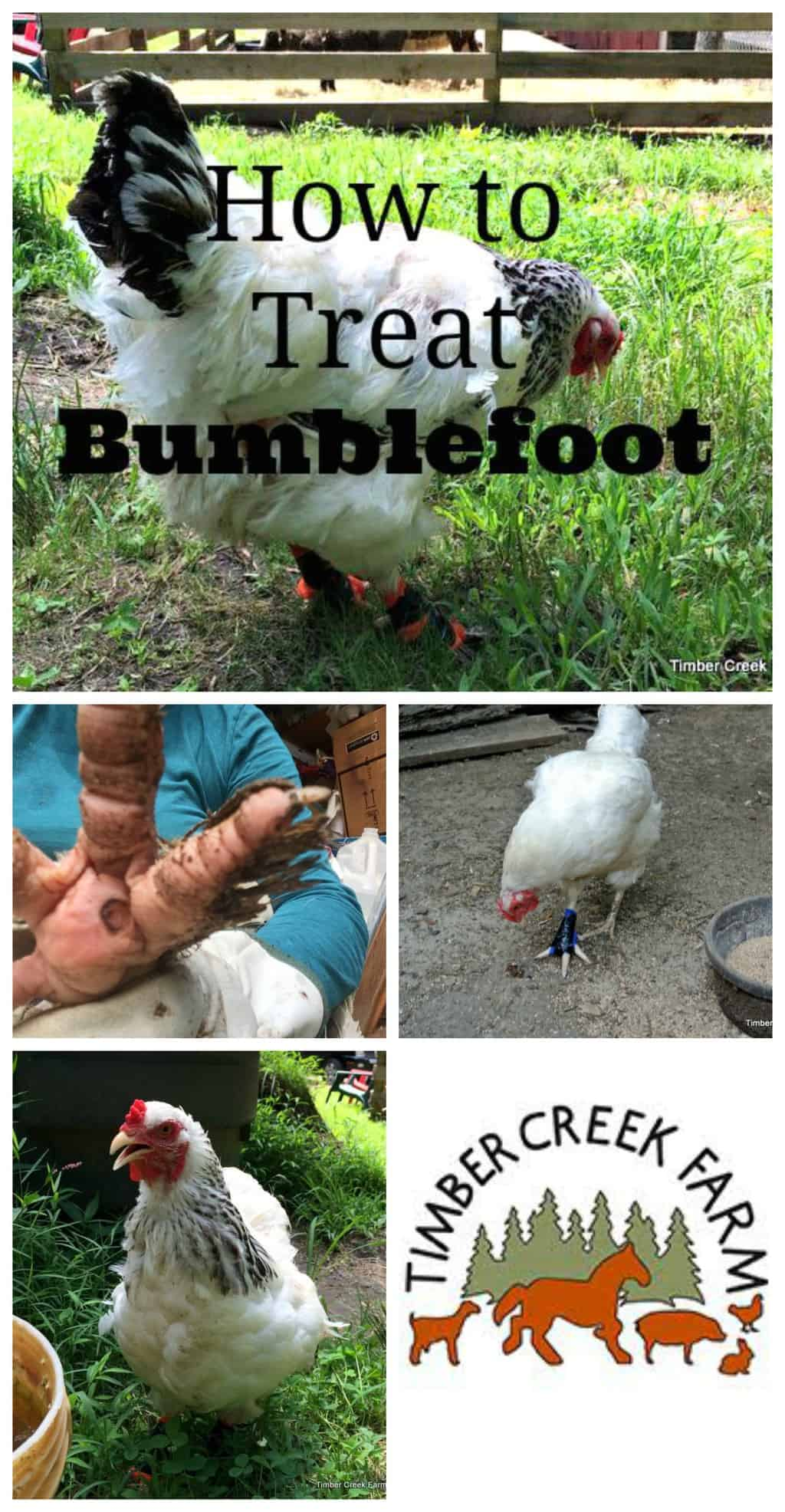 treating bumblefoot in chickens timber creek farm