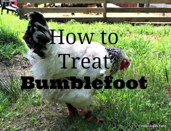 Treating Bumblefoot in Chickens - Timber Creek Farm