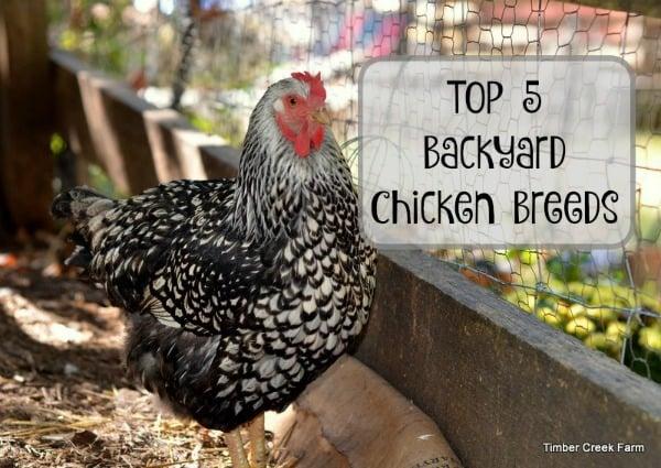 Chickens Backyard best backyard chickens - timber creek farm