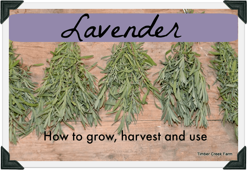 How To Grow Harvest And Dry Lavender Timber Creek Farm