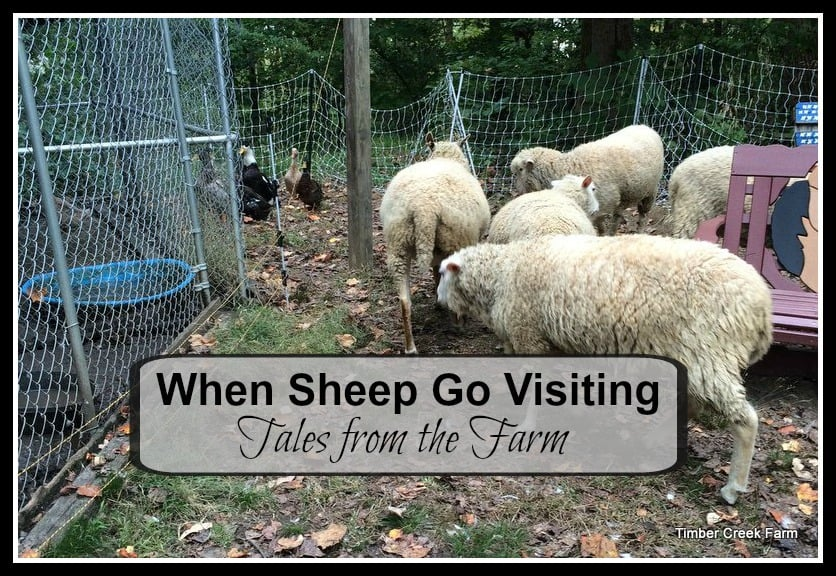 When Sheep Visit