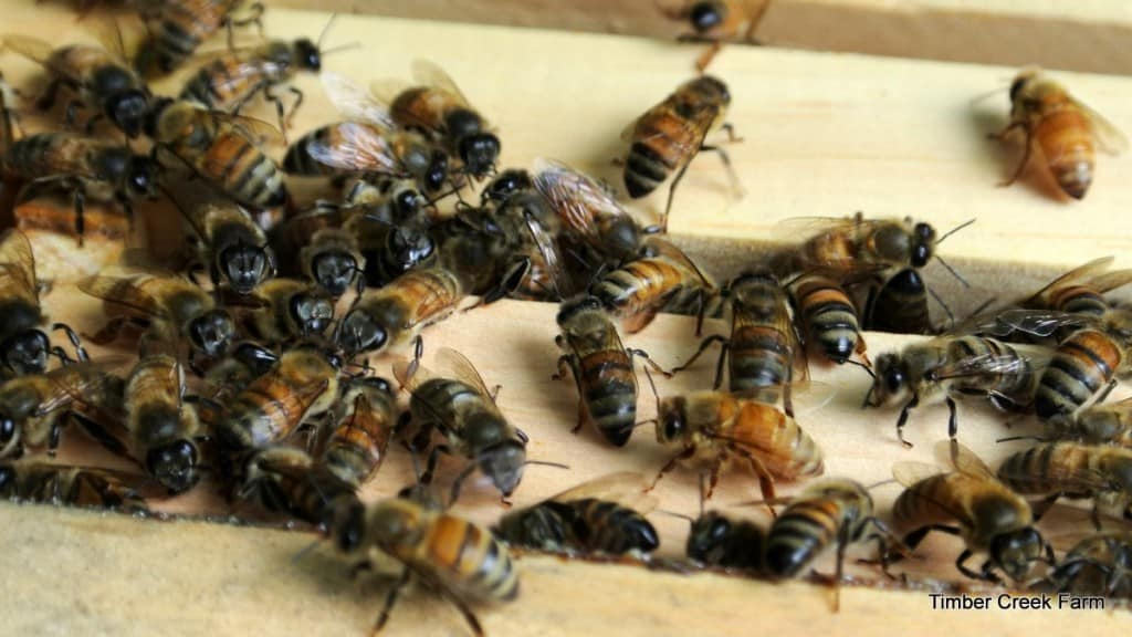 Honeybees with no honey left for winter