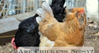 Quiet chickens