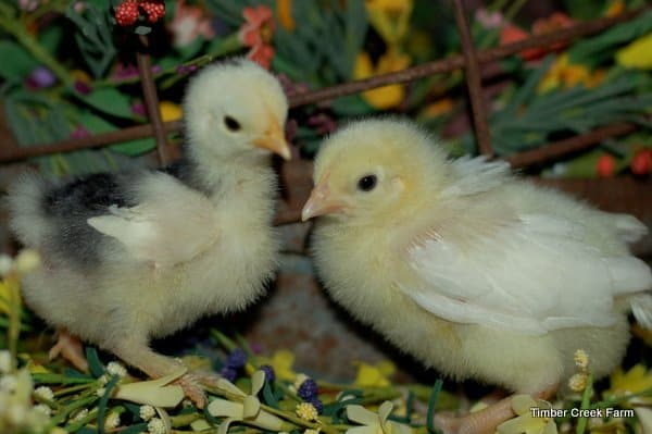 How Chicks Grow The First Year Timber Creek Farm