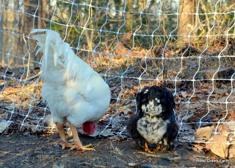 Chicken Disease