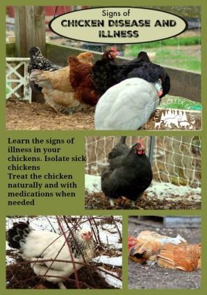 chicken disease pin image