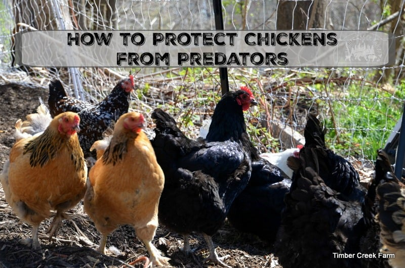 protect chickens from predators
