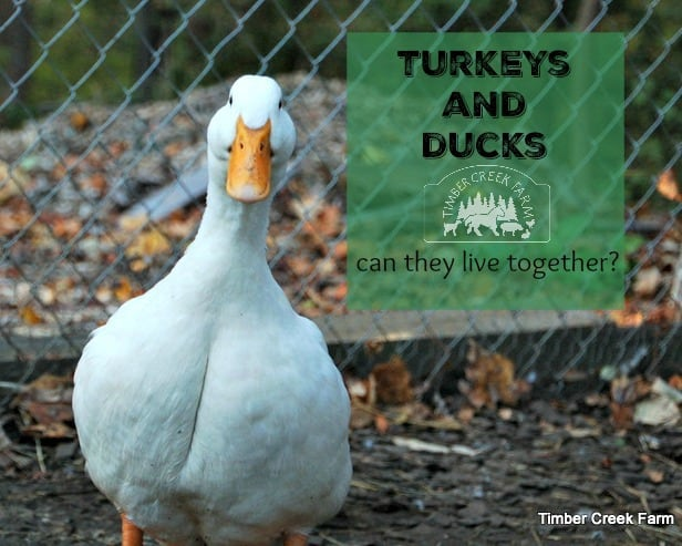 turkeys and ducks