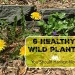 6 Healthy Wild Plants to Harvest Now