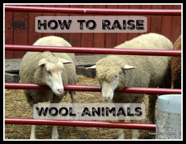 raise wool animals