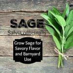 Grow Sage for Savory Flavor and Barnyard Use