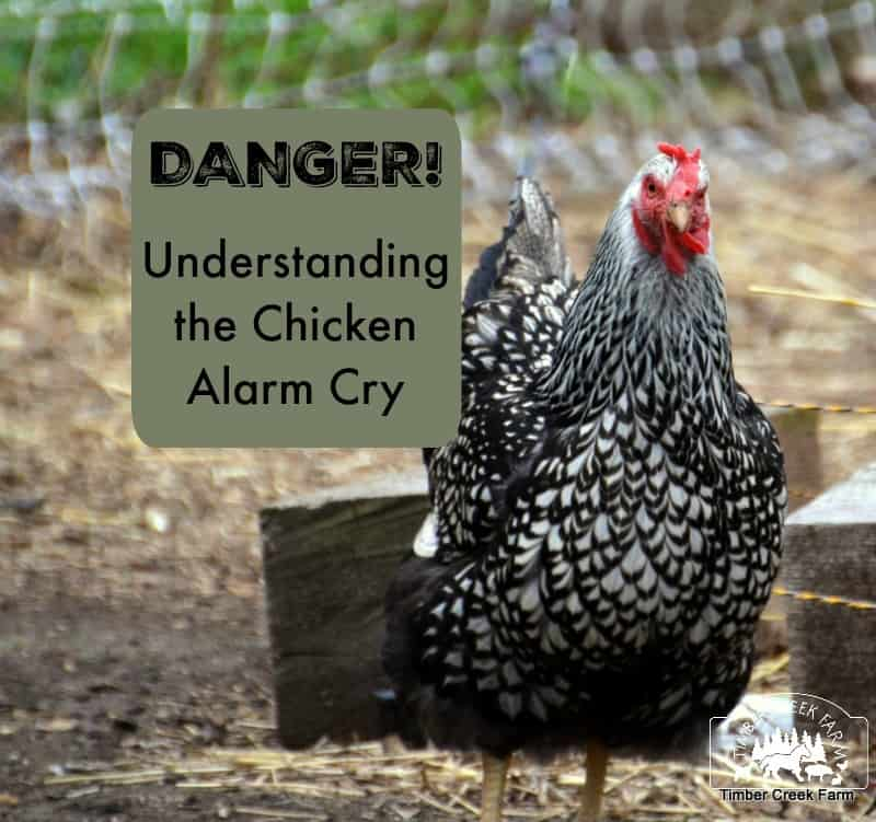 danger warning in chickens