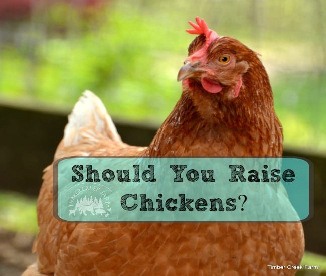 Should You Raise Chickens?
