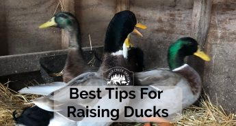 raising ducks