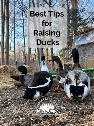 raising ducks - read the best advice and tips for raising healthy ducks
