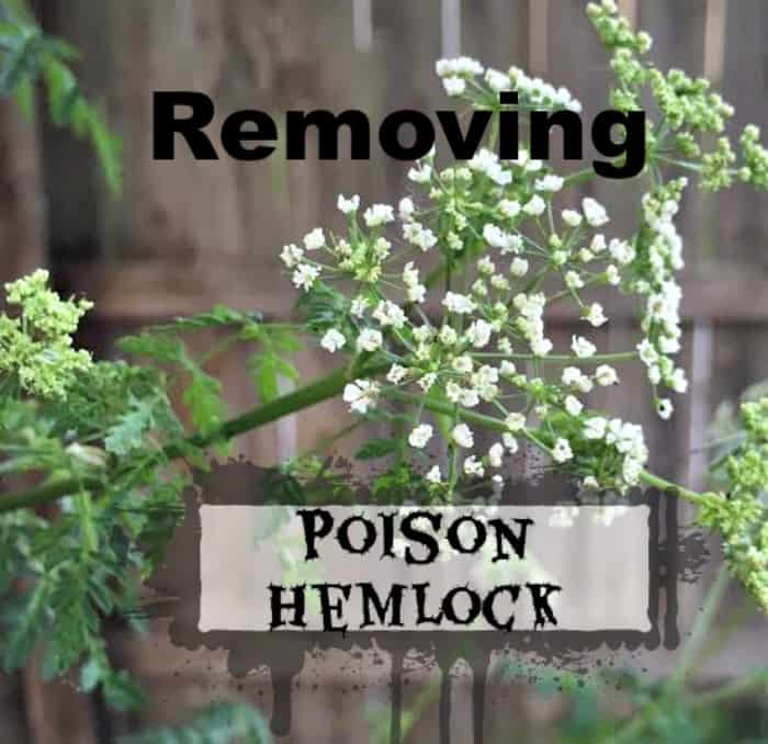 Removing Poison Hemlock From Your Yard Timber Creek Farm