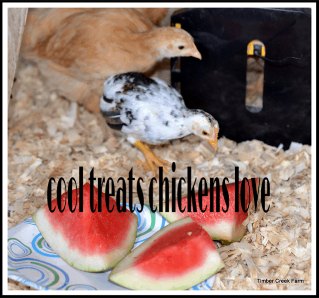 Cool treats chickens love