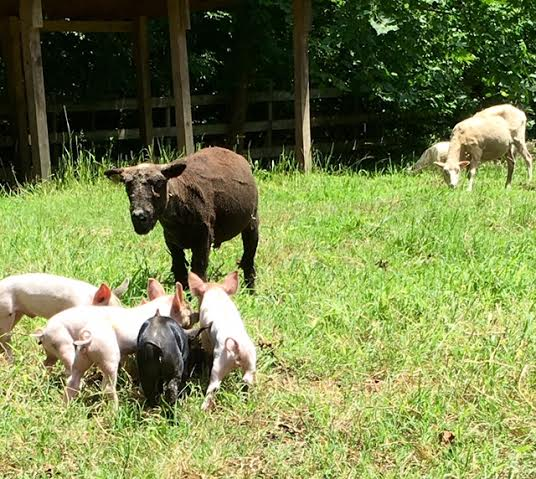 raising miniature goats