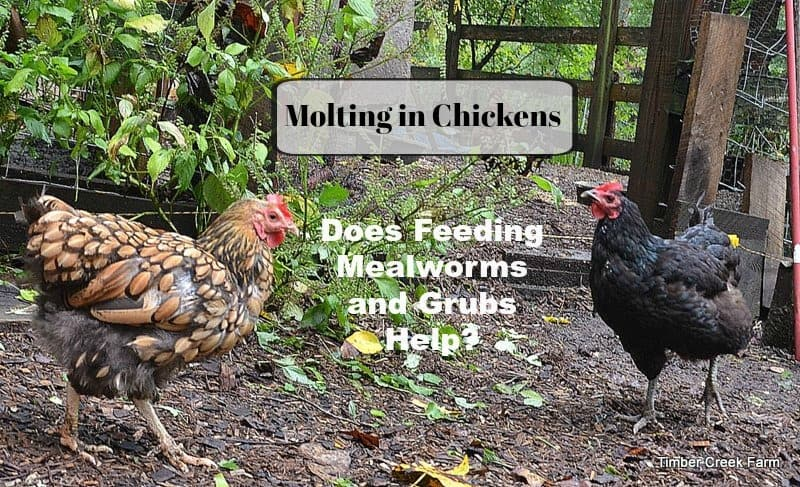 Grubs and Mealworms Can Help with Molting
