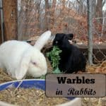 Warbles in Rabbits Caused by the Bot Fly