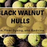Black Walnut Hulls For Dye and Natural Medicine