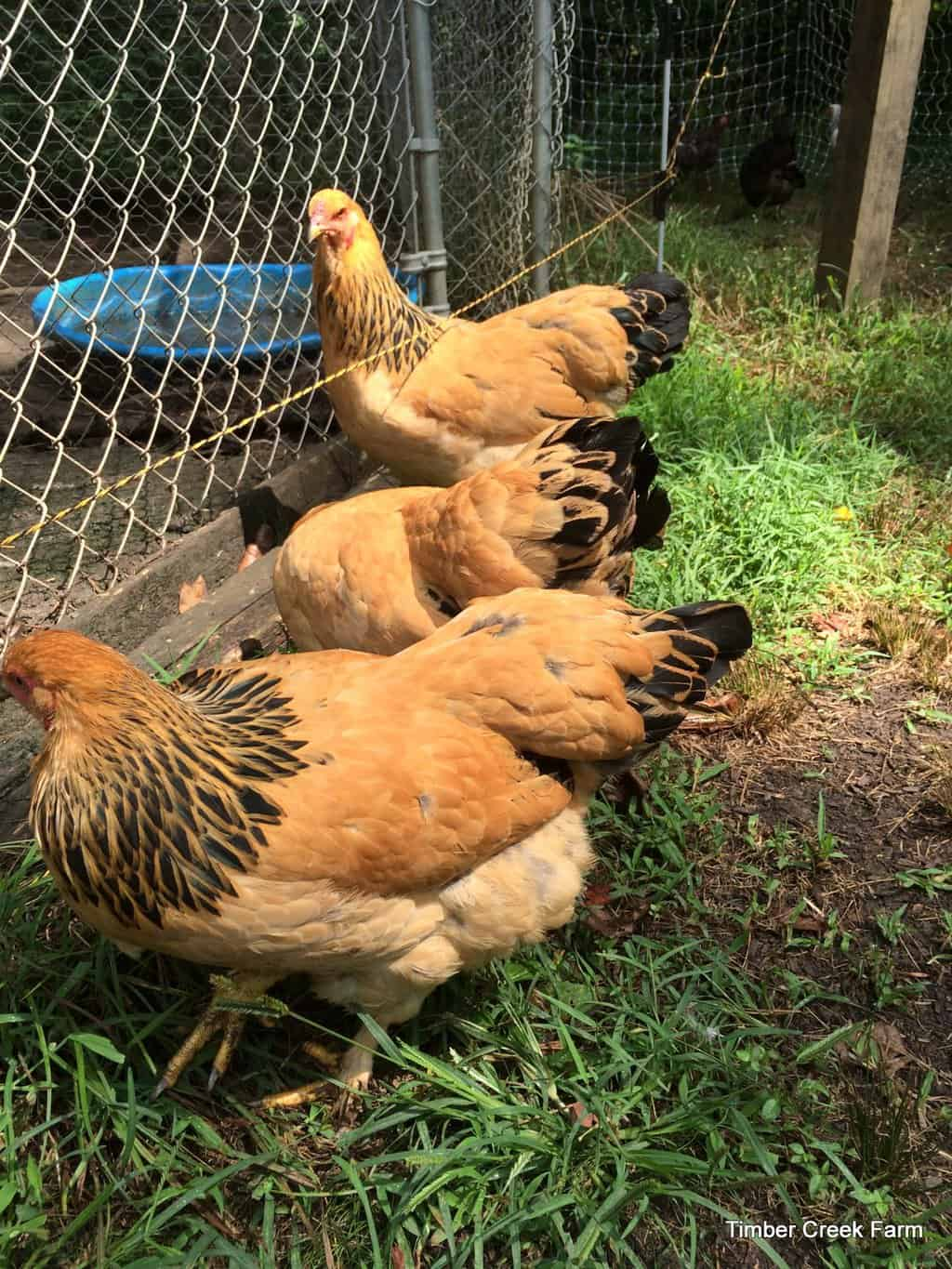 Raising A Large Breed Chicken Brahma And Cochin Timber