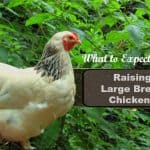 Raising a Large Breed Chicken - Brahma and Cochin
