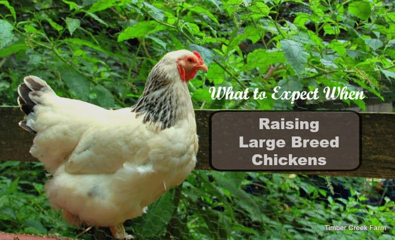 Raising a Large Breed Chicken - Brahma and Cochin - Timber Creek Farm